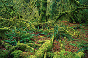 Hoh Photos - Moss And Ferns Hoh Rainforest by Jean-Paul Ferrero