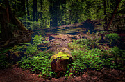 California Artist Prints - Moss Covered Tree - California Redwoods Print by Dan Carmichael