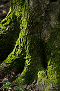 Moss Green Digital Art Prints - Moss Covered Tree Trunk Print by Christina Rollo