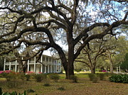 Chance Jobe - Moss-Draped Live Oak Tree