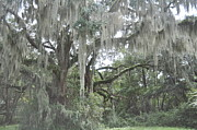 Live Oaks Originals - Moss Draped Live Oaks by Kay Mathews