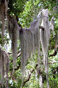 Lagniappe Framed Prints - Moss Draped Tree Branch Framed Print by Victoria Leyva