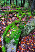 Tree Roots Posters - Moss Roots Rock and Fallen Leaves Poster by Thomas R Fletcher