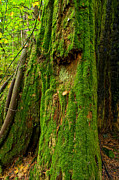 Stanley Park Posters - Mossy Green Coated Tree Poster by Terry Elniski