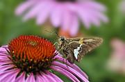 Dan Friend - Moth on flower