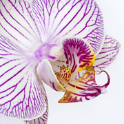 Epiphyte Metal Prints - Moth Orchid I Metal Print by Dawn  Black