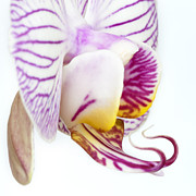 Epiphyte Framed Prints - Moth Orchid II Framed Print by Dawn  Black