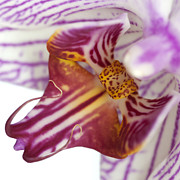 Epiphyte Metal Prints - Moth Orchid III Metal Print by Dawn  Black