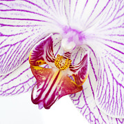 Epiphyte Metal Prints - Moth Orchid IV Metal Print by Dawn  Black