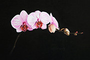 Moth Drawings - Moth Orchid by Marna Edwards Flavell