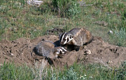 Badgers Prints - Mother and baby Badger Print by R Breslaw