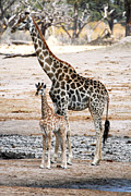 Young Giraffe Photos - Mother And Baby Giraffe Masuma Zimbabwe by Pamela Buol