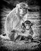Caring Mother Prints - Mother and Baby Monkey Black and White Print by Adam Romanowicz