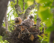 Red Shouldered Posters - Mother and Baby Red Shouldered Hawk Poster by Jai Johnson