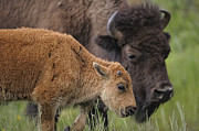Bison Photos - Mother and Calf Bison by Paul W Sharpe Aka Wizard of Wonders