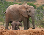 Elephants Prints - Mother and Calf Print by Bruce J Robinson