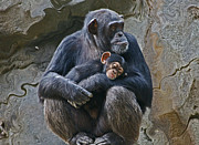 Chimpanzee Digital Art Prints - Mother and Child Chimpanzee Print by Daniele Smith