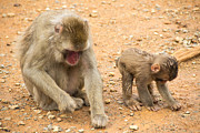 Laura Palmer Photo Prints - Mother and child macaque Print by Laura Palmer