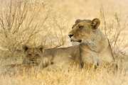 Mother And Cub Print by Alison Buttigieg