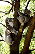 Graham Palmer - Mother and Son Koala...