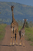Young Giraffe Photos - Mother And Young Giraffe   #7038 by J L Woody Wooden