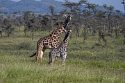 Young Giraffe Photos - Mother And Young Giraffe   #7061 by J L Woody Wooden