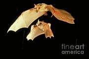 Dr Merlin D Tuttle Bat Conservation International - Mother Bat And Pup