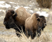 Yellowstone Photos Prints - Mother Buffalo with young Print by Shaun McWhinney