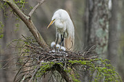 Fluffy Chicks Posters - Mother Egret and Chicks Poster by Bonnie Barry