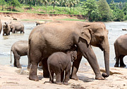 Pinnawela Photos - Mother elephant and baby by Jane Rix