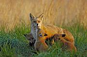 Fox Kits Framed Prints - Mother Fox and Kits Framed Print by William Jobes