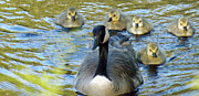 Mother Goose Photo Posters - Mother Goose and Brood Poster by Brenda Brown