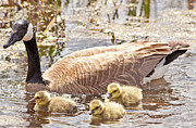 Mother Goose Photo Posters - Mother Goose and Goslings Poster by Natural Focal Point Photography