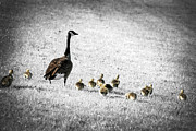 Geese Photos - Mother goose by Elena Elisseeva