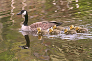 Goose In Water Prints - Mother Goose Print by Peggy Collins