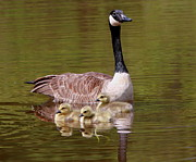 Mother Goose Photo Posters - Mother Goose With Baby Geese Poster by Edward Kocienski