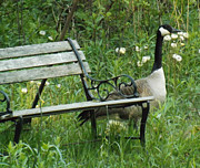 Mother Goose Photo Posters - Mother Gooses Time Out Bench Poster by Brenda Brown
