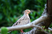 Mary Beth Landis - Mother Mourning Dove