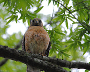 Red-shouldered Hawk Posters - Mother Red Shouldered Hawk Poster by Jai Johnson