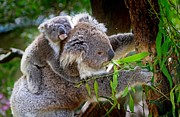 Koala Bear Digital Art Prints - Mother Teddy Bear and Offspring - Koala  Print by Chet  Dembeck