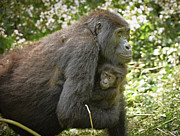 Ape Photo Originals - Mother With Baby Mountain Gorilla by Juergen Ritterbach