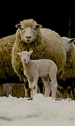 Hair Sheep Photo Prints - Motherhood Print by Linda Simon