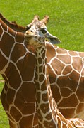 Young Giraffe Photos - Mothers Child by Randy Pollard