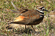 Killdeer Art - Mothers Dedication by Leslie Kirk