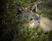 Wolves Photos - Motionless by Robert Weiman