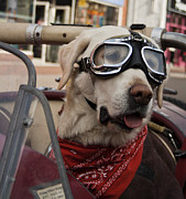 Old Labradors Prints - Motor Mutt - The Dog in a Vintage Car Print by Liam Liberty