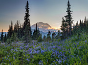 Mazama Photo Framed Prints - Mount Rainer Flower Fields Framed Print by Mike Reid