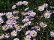 Sandee Gass - Mountain Asters