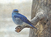 Snag Framed Prints - Mountain Bluebird Framed Print by Angie Vogel