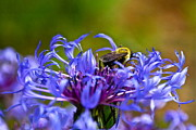 Byron Varvarigos - Mountain Cornflower and Bumble Bee